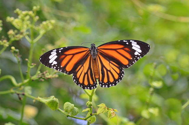 As únicas borboletas que migram