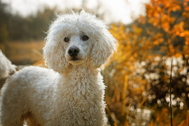 Raças de cachorros mais inteligentes do mundo - Poodle