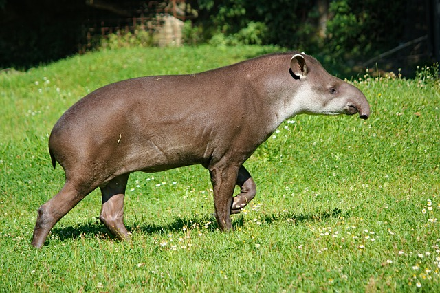 Animais em extinção no Brasil - Anta