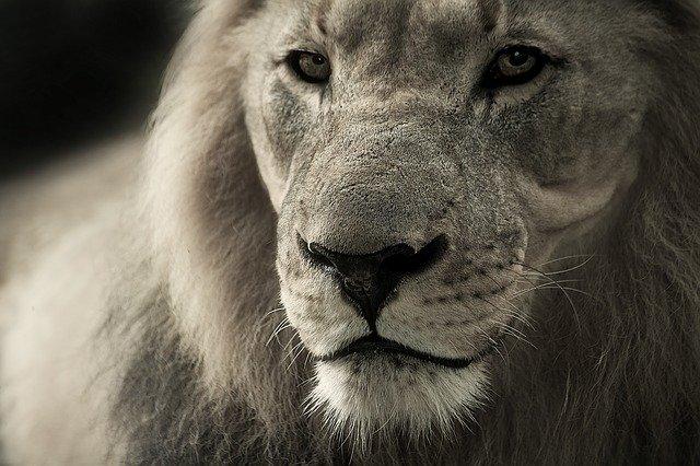 Título enganador do leão