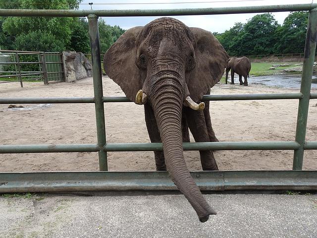 Elefantes sofrem quando estão em cativeiro