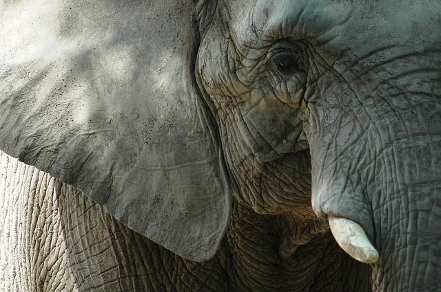 Dentição e pele dos elefantes