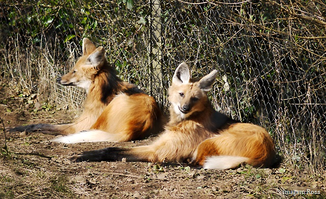Reprodução do lobo-guará