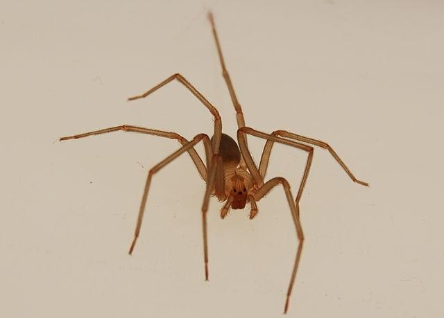 aranhas venenosas - aranha marrom reclusa
