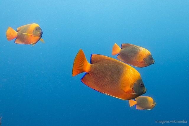 Peixes mais caros do mundo - Clarion Angelfish (Holacanthus clarionensis)