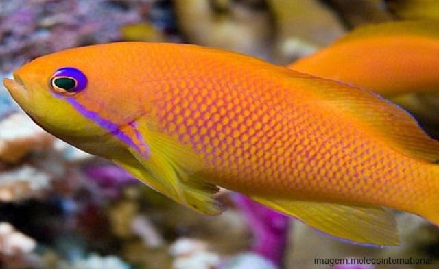 Peixes mais caros do mundo - Golden Basslet