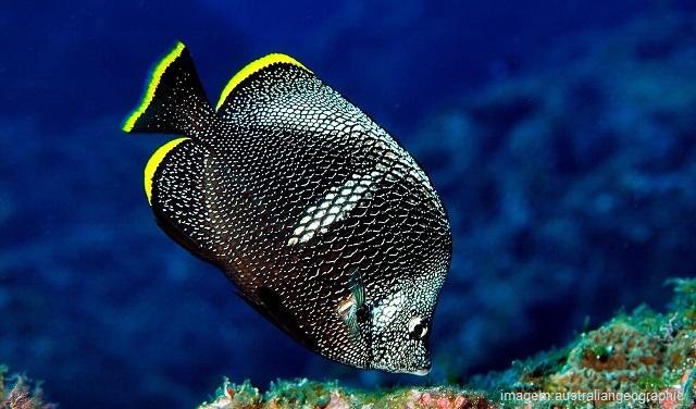 Peixes mais caros do mundo - Wrought Iron Butterflyfish