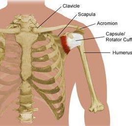 diagram-of-bones-and-muscles-at-shoulder.jpg