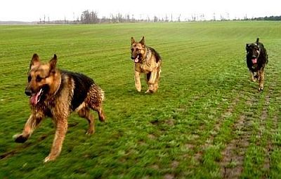 German-Shephard-Dogs-Running-Fast.jpg