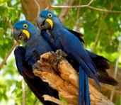 Hyacinth macaws