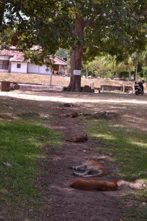 the sleepy dogs of Anuradhapura