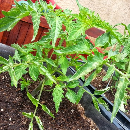 10 Helpful Tips for Growing More Tomatoes - Munofore
