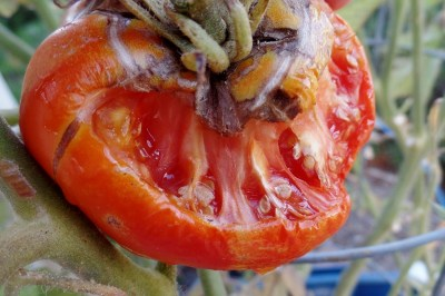 tomato eaten by hornworm