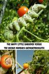 The Happy Little Gardener versus the Odious Manduca quinquemaculata.