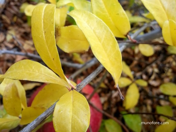 yellow pomegranate leaves