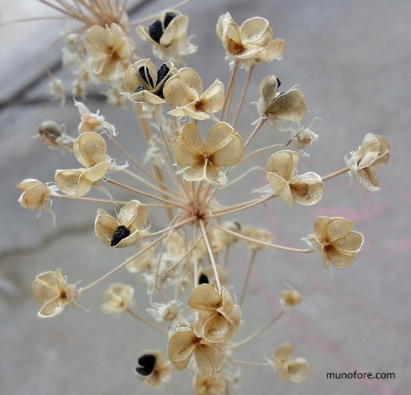 dried chive flowers