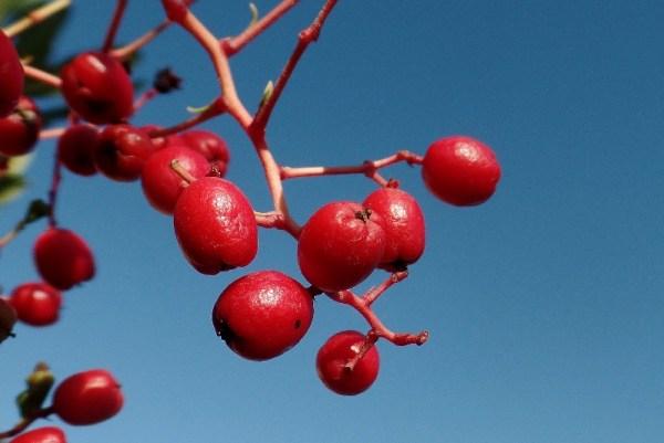 Heteromeles arbutifolia, Toyon or Christmas Berry