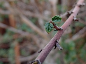 lef growing on California Lilac