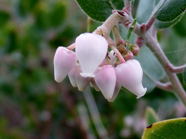 Pink Arctostaphylos in bloom