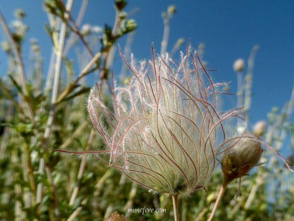 Photos of California Native Plants in a home landscape. Toyon, Chitalpa, Arctostaphylos, Ceanothus, Zauschneria, Erigeron, Salvia, Fallugia Paradoxa