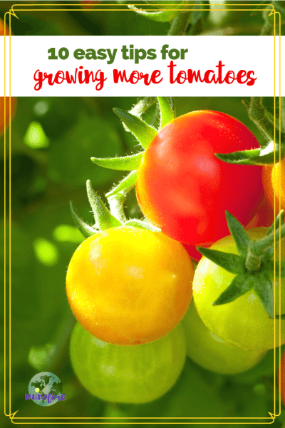 """cherry tomatoes on the vine with text overlay""""10 easy tips for growing more tomatoes"""""""