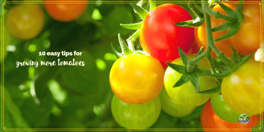 "tomatoes on a vine with text overlay ""10 easy tips for growing more tomatoes"""