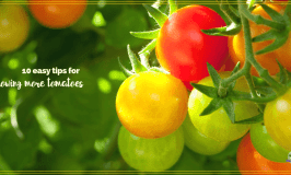 """tomatoes on a vine with text overlay """"10 easy tips for growing more tomatoes"""""""