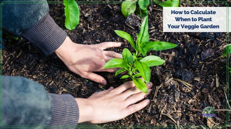 "hands planting a plant with text overlay ""How to Calculate When to Plant Your Garden"""