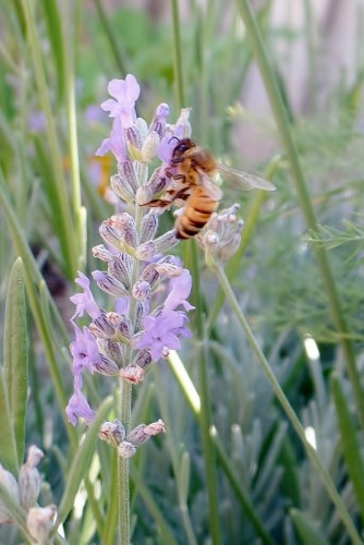 bee on a lavender bloom
