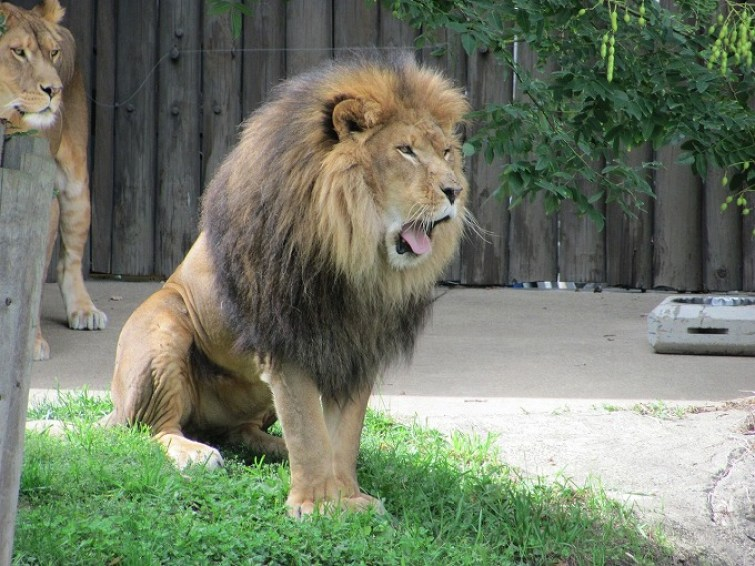 lion-300934_1280.jpg