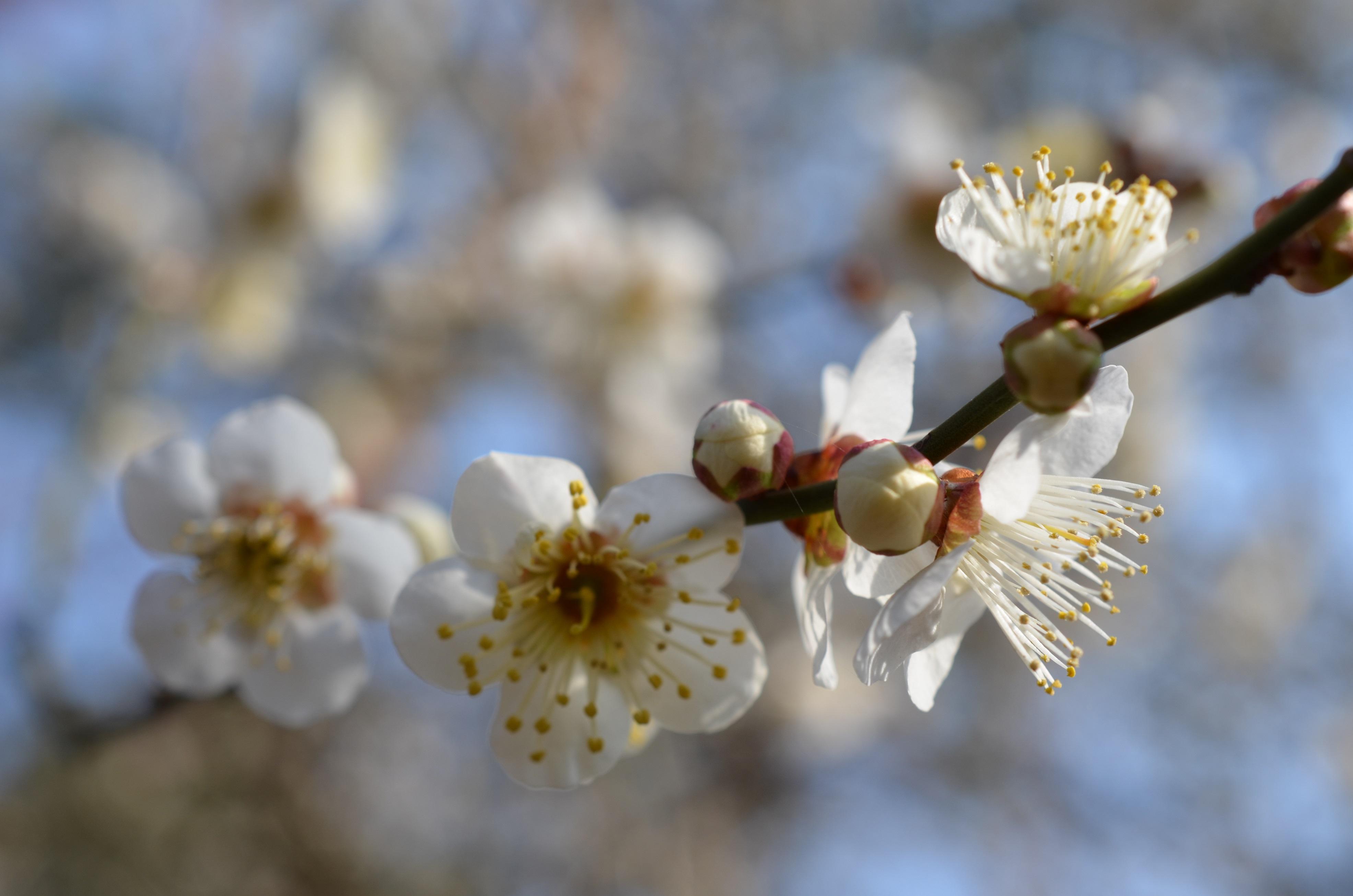 近所の梅の花が見事だった。 #フォト