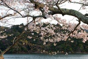 久美浜湾の桜