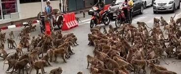 Tayland'da Maymun Çeteleri Yolları ve Binaları Ele Geçirdi