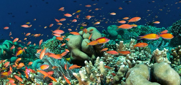 Anthias Bunaken Hard Coral