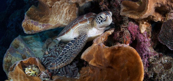 Green Sea Turtle Chelonia mydas-Bunaken National Park