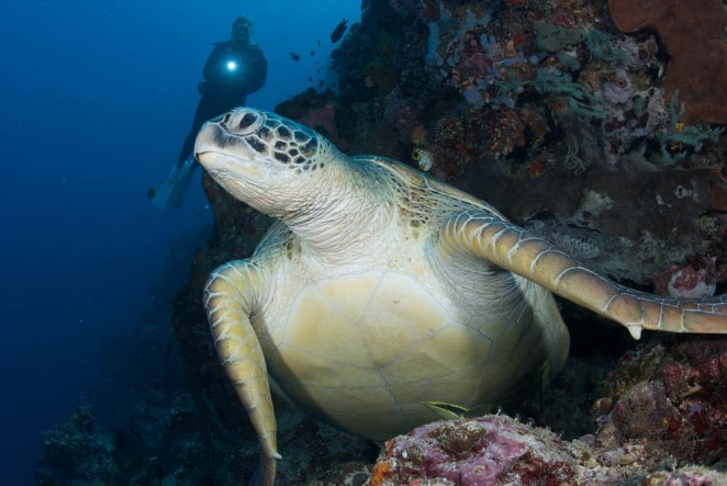 Green Sea Turtle at Lekuan