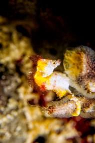 Hippocampus Pontohi Pygmy seahorse Murex Bangka
