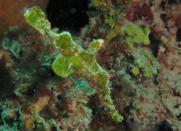 Halimeda ghost pipefish, Solenostomus halimeda