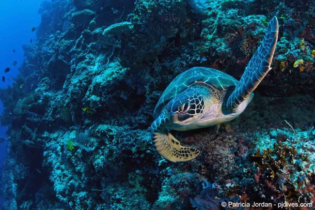 Green Sea Turtle taking of from a Bunaken wall