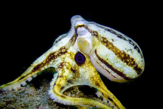 Poison Ocelot Octopus found in Lembeh Strait