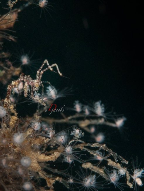 Skeleton shrimp (Caprellid sp.)