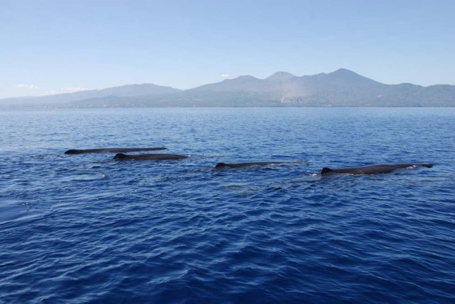 Sperm Whales (Physeter macrocephalus) in Manado Bay