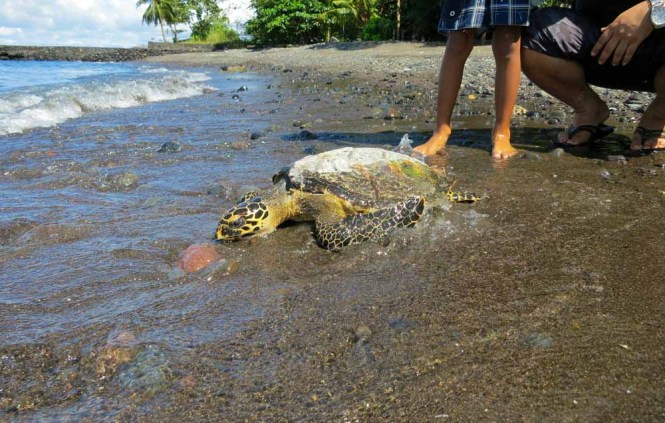 Hawksbill Turtle release on beach