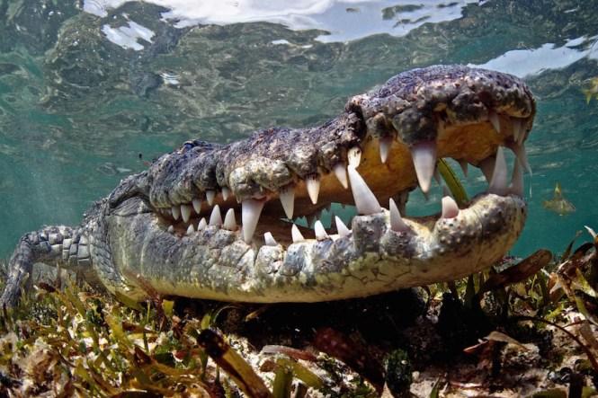Crocodile in Mexico