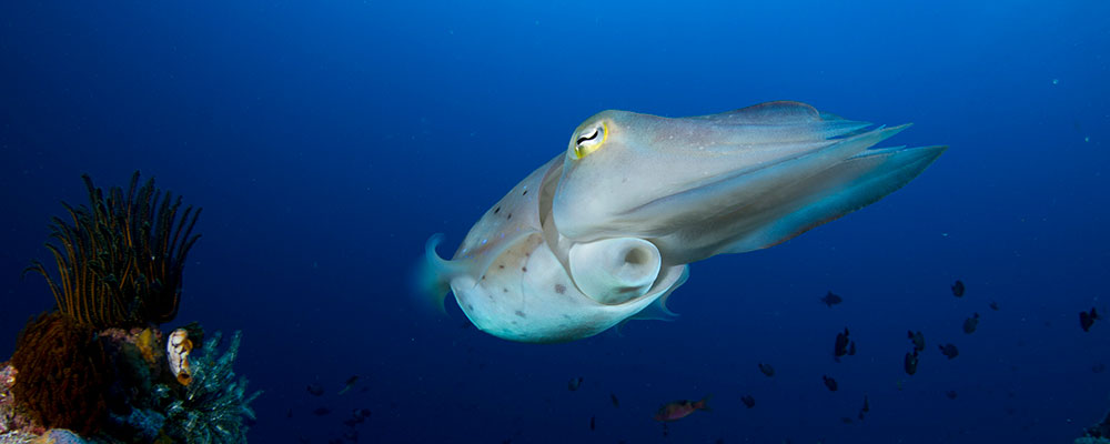 Broadclub-Cuttlefish-Sepia-Latimanus-Bangka-Island