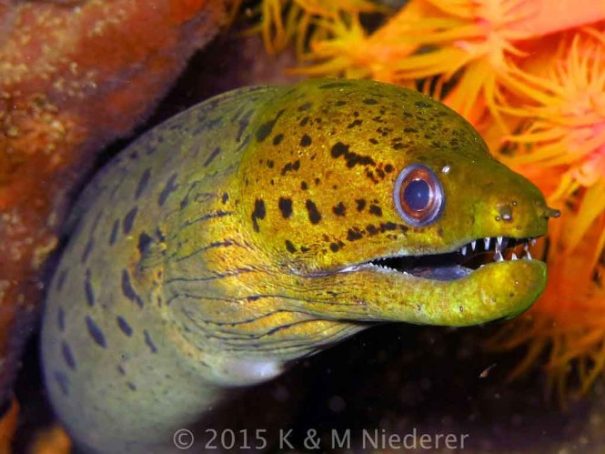 Fimbriated Moray Eel (gymnothorax fimbriatus)
