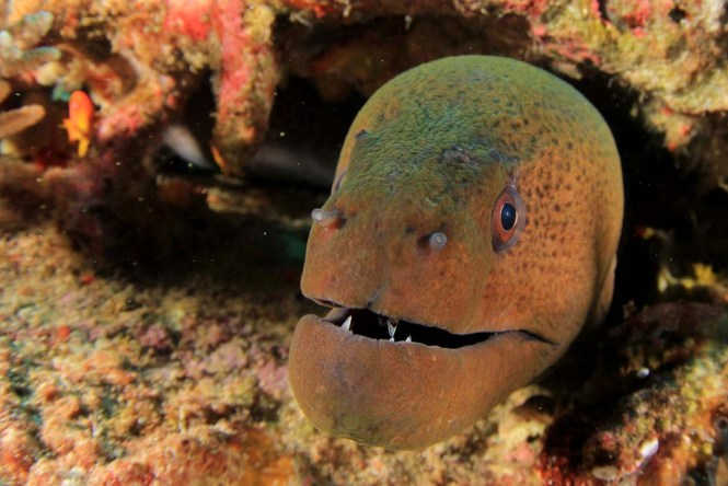 (Gymnothorax javanicus) Giant Moray Eel