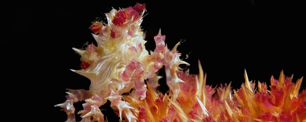 Soft-Coral-Candy-Crab-Murex-Manado-housereef