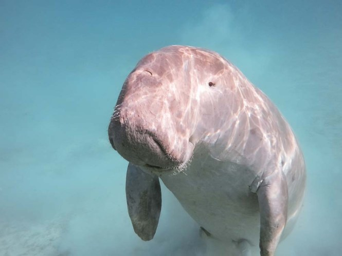 Dugong in Indonesia