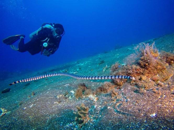 Sea snake at Murex housereef